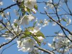 平塚総合運動公園の桜